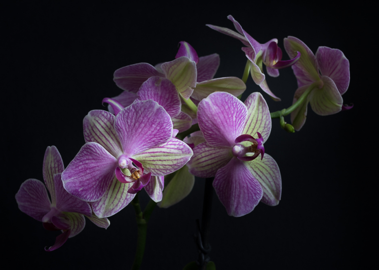 Panicle of Orchid