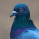 Pigeon - Colourful